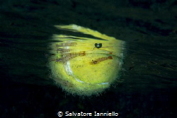Tennis shrimp by Salvatore Ianniello