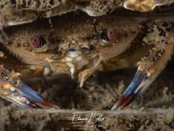 Red eye Swim crab, by Eduard Bello