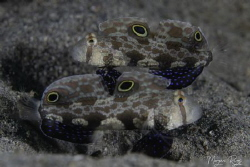 Mixed Signals ( 2 x signal goby) by Morgan Riggs