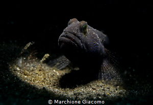 Blu -speckled Goby Lembhe strait Nikon D800e , 105 macr... by Marchione Giacomo