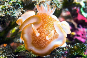 Glossodoris rufomarginata/Photographed with a Canon 60 mm... by Laurie Slawson
