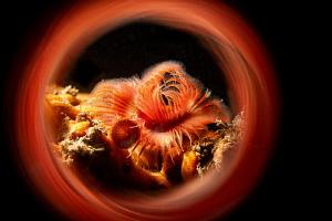 Serpula vermicularis. by Mehmet Salih Bilal