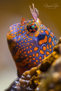 Blenny full of colors, Isla Lobos México by Alejandro Topete