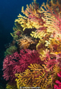 coloured gorgonians photographed at diving site named La ... by Antonio Venturelli