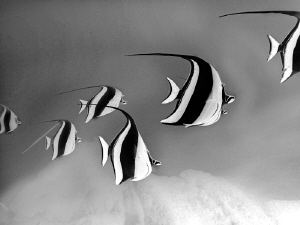 Twirling Moorish Idols/Inverted and twirling added to pho... by Laurie Slawson