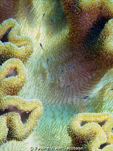 Tiny fry in the safety of a leather coral, Wakatobi Marin... by Pauline Walsh Jacobson