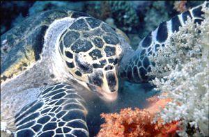 Hawksbill Turtle feeding on soft coral. (eretmochelus imb... by Peter Harris