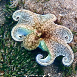 Octopus Encounter while Snorkeling by Annette Kirchgessner