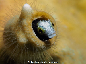 Spinyhead Blenny, Acanthemblemaria spinosa, Stevens Cay, ... by Pauline Walsh Jacobson