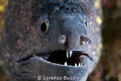 Muraene in his hole. note the little parasite in the mouth. by Lorenzo Buccio