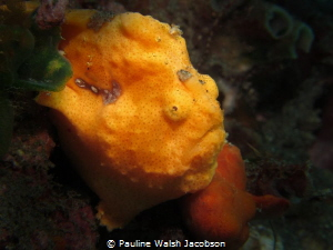 Painted Frogfish, Antennarius pictus, Aer Bajo 3, Lembeh,... by Pauline Walsh Jacobson