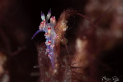 In the Wind - Flabellina by Morgan Riggs