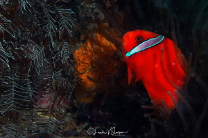 Anemonefish/Photographed with a Canon 60 mm macro lens at... by Laurie Slawson