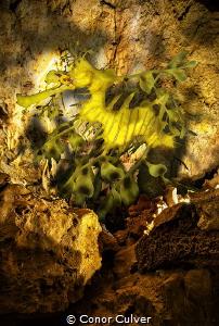 """""""Dragon Cave (Leafy Sea Dragon)"""" part of my Underwater Su... by Conor Culver"""