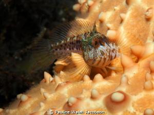Seaweed Blenny on Cushion Sea Star, Blue Heron Bridge, Fl... by Pauline Walsh Jacobson