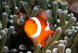 False Clown Anemonefish/Photographed with a Canon 60 mm m... by Laurie Slawson