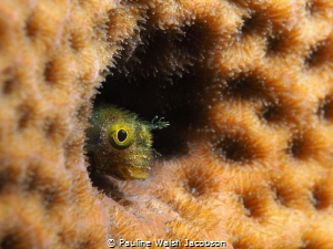 Spinyhead Blenny, Acanthemblemaria spinosa, Bonaire by Pauline Walsh Jacobson