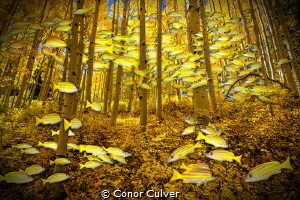 """""""Snapper Fall"""" part of my Underwater Surrealism body of w... by Conor Culver"""