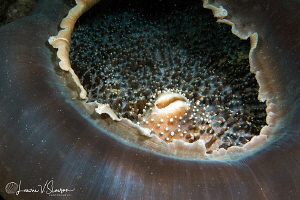 Elephant Ear Anemone/Photographed with a 60 mm macro lens... by Laurie Slawson