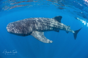 Whaleshark and diver, Isla Contoy Mexico by Alejandro Topete