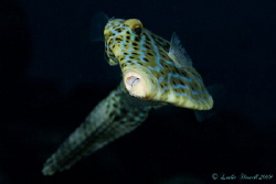 "Friendly Filefish saying ""Cheese!"" by Leslie Howell"