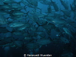 Jacks on Apo Island by Hansruedi Wuersten