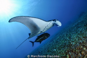 Manta and jaws