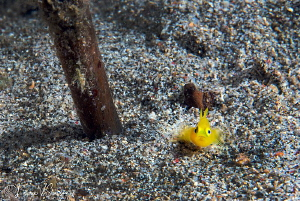 Yellow Goby/Photographed with a Canon 60 mm macro lens at... by Laurie Slawson