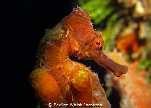Longsnout Seahorse, Frederiksted Pier, St. Croix, U.S. Vi... by Pauline Walsh Jacobson