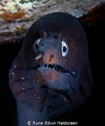 Moray eel by Rune Edvin Haldorsen