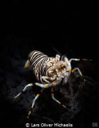 bumble bee shrimp by Lars Oliver Michaelis