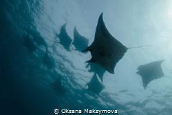 Manta rays, passing in surface. by Oksana Maksymova