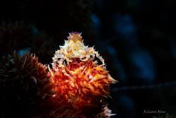 Candy Crab by Julian Hsu