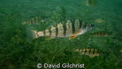 A school of Yellow Perch and Sunfish surrounded me on a r... by David Gilchrist