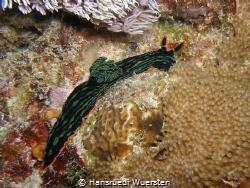 Nudibranch - Nembrotha kubaryana by Hansruedi Wuersten