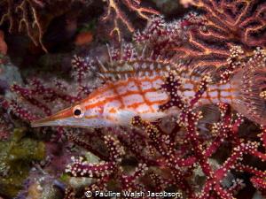 Longnose hawkfish Oxycirrhites typus, Beqa Lagoon, Fiji by Pauline Walsh Jacobson