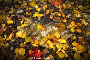 """Yellow Ray Fall"" Stingrays often conceal themselves unde... by Conor Culver"