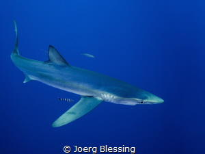 Blue shark off Faial, Azores. Such wonderful animals that... by Joerg Blessing