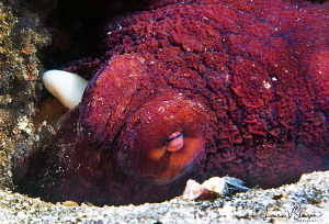 Day Octopus/Photographed with a Canon 60 mm macro lens at... by Laurie Slawson
