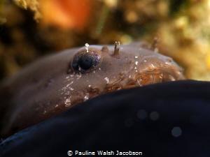 Skilletfish, Gobiesox strumosus, Blue Heron Bridge, Florida by Pauline Walsh Jacobson