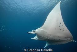 Manta Ray gliding in the lagoon of Bora Bora by Stephan Debelle