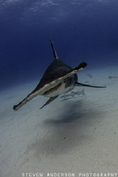 Hammerhead sharks are one of my favorite sharks to photog... by Steven Anderson