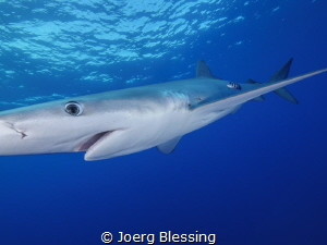 Should have brought the fisheye ;-)Blue shark off Faial, ... by Joerg Blessing