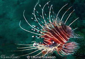 Lionfish/Photographed with a Canon 60 mm macro lens at An... by Laurie Slawson