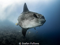 Foible ...  Bump-Head Sunfish - Mola alexandrini  Gil... by Stefan Follows
