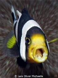 tongue-eating parasite (Cymothoa exigua) inside the mouth... by Lars Oliver Michaelis