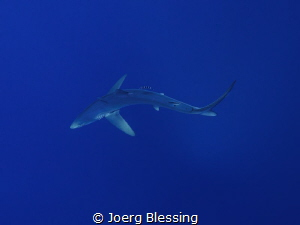 Blue shark, Faial, Azores by Joerg Blessing