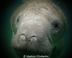 little MANATEE by Vladimir Chubenko