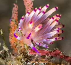 Purple Flabellina by George Touliatos