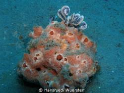 Marine Sponge with mini frogfish by Hansruedi Wuersten